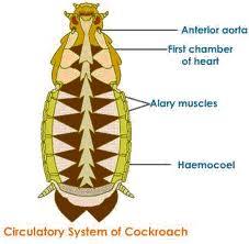 p.circulatory system